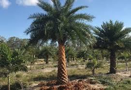 sylvester palm tree price jacksonville s tree source page 2 jacksonville jacksonville