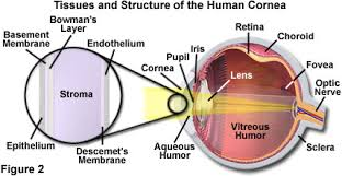 What Structure Of The Eye Focuses Light On The Retina Molecular Expressions Microscopy Primer Physics Of Light And