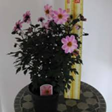 Where To Buy Candy Eyes Cheap Dahila U0027s Online Perennial Plants For Sale Plants Galore