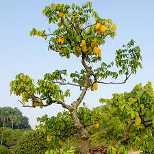 starfruit tree fast growing trees