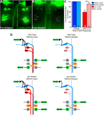 mirror movement like defects in startle behavior of zebrafish dcc