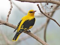 indian golden oriole wikipedia