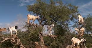 brown tree why are there goats in the trees cbs news