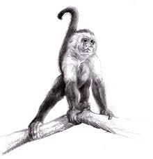 magellin blog capuchin monkey sketch