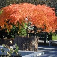deciduous trees perth wa guildford garden centre