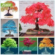zlking 20 pcs blue maple tree seeds bonsai tree seeds