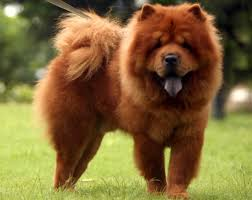 lion dogs chow chow dogs breed the lion dog from china adogbreeds