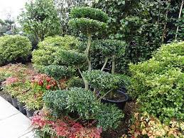 Topiary Cloud Trees - ilex crenata pom pom trees japanese holly garden bonsai