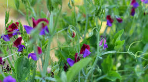 how to grow sweet peas organic gardening blog