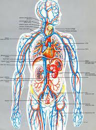Heart Anatomy Youtube Systemic Circulation Anatomy Admissions Guide