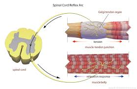 How Does A Reflex Arc Work In A Nervous System Facilitated Stretching