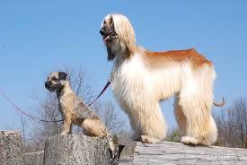 afghan hound of america free images nature countryside cute canine country close up