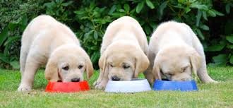 show guide dogs some love this valentine u0027s day welcome to the