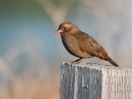 The Backyard Bird Company - backyard birds of san francisco california pacific nw birder