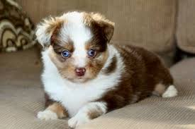 australian shepherd puppies near me our toy aussies
