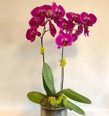 orchid plants stem color phalaenopsis orchid plants