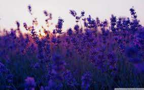 lavender wallpaper collection 26
