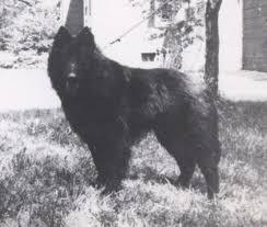 belgian sheepdog history belgian tervuren