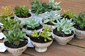 baby shower favors baby shower favors teacup succulents latta creations