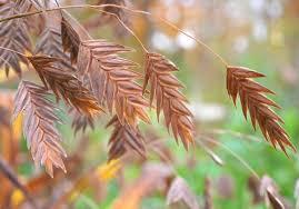 chasmanthium a grass for shade a way to garden