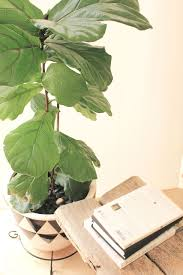 how to grow a fiddle leaf fig from bush to tree