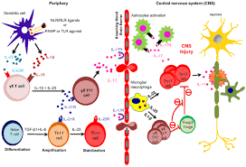frontiers the emerging roles of gamma u2013delta t cells in tissue