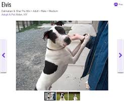 american pitbull terrier dalmatian mix is it that hard to tell a pit bull from a pointer