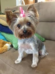 hair accessories for yorkie poos pin by christiancrystals com on yorkies pinterest haircuts