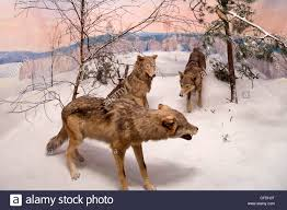 Wolf Mural by Stuffed Wolf Stock Photos U0026 Stuffed Wolf Stock Images Alamy