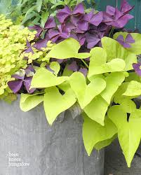 sweet potato vine green and purple varieties a favorite and a