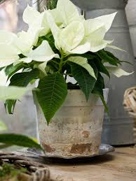 white poinsettia 48 best white poinsettias images on christmas flowers