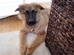 belgian sheepdog golden retriever mix do i have a belgian tervuren