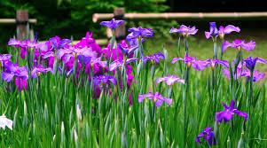 iris flowers iris flowers purple free photo on pixabay
