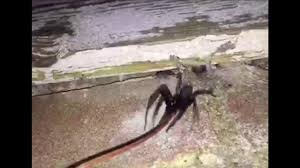 terrifying moment hundreds of venomous spiders crawl out of wall