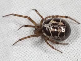 Black Widow Spiders Had A - what is the false widow spider false widow spider