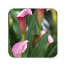 Calla Lily Flower Calla Lily Flower Stickers Zazzle