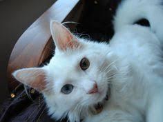 gato blanco con un ojo azul y otro naranja fondos de pantalla