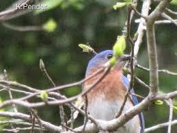 Backyard Bbw Ornithology Bird Love U2014 Towandatude Comtowandatude Com