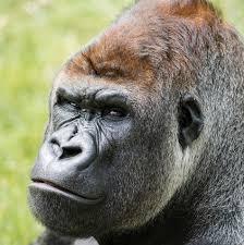 Gorilla by Gorillas In Uk Gorilla Colony Longleat
