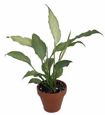 Peace Lily Plant White Silver Peace Lily Plant Spathyphyllium New Easy 3
