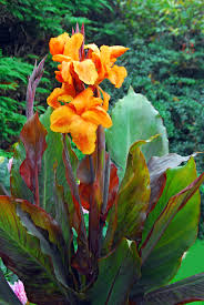canna lilies you can grow colorful cannas gardening with soule