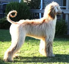 afghan hound dog images mystical gypsy foxes u0026 afghan hounds