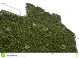 house wall with climbing plants royalty free stock images image