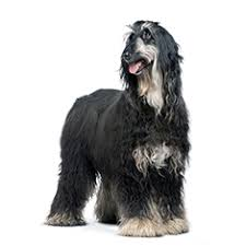 does an afghan hound shed afghan hound breed information