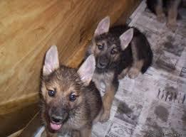 puppies indiana german shepherd siberian husky puppies price 300 00 for sale
