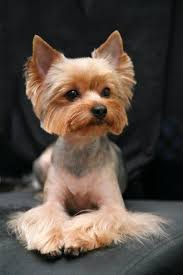 haircuts for yorkies 4 wonderful yorkshire terrier haircut harvardsol com