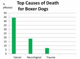 boxer dog in boxing gloves oldest living boxer dogs stats