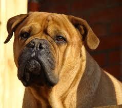 american bulldog x belgian malinois bullmastiff temperament