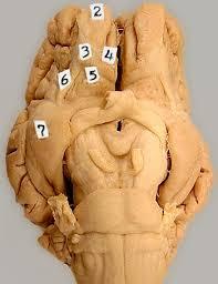 Gross Brain Anatomy Lab 3 Brain Gross Anatomy Telencephalon