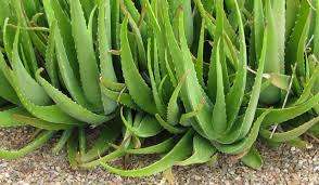 aloe vera plant facts 15 interesting facts you did not know about aloe vera sound health